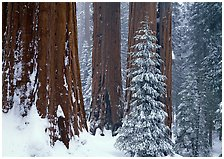 Grant Grove, Kings Canyon  National Park, California.  ( )