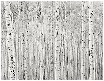 Aspen Grove, Colorado, 1986.  ( )