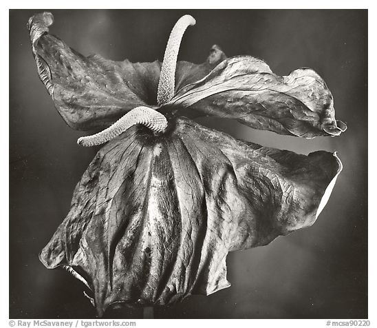 Dried Anthuriums, 2005.  ()