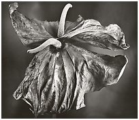 Dried Anthuriums, 2005.  ( )