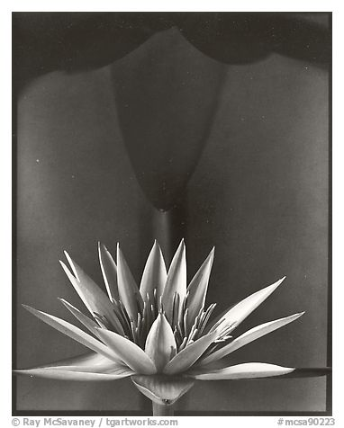 Water Lily, 2002.  ()