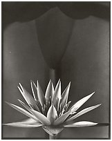 Water Lily, 2002.  ( )