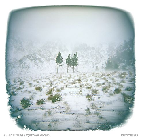 Three Trees in Blizzard, Sierra Nevada Range, 2004.  ()