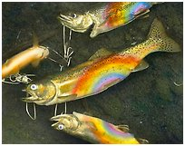 Rainbow Trout, 1990.  ( )